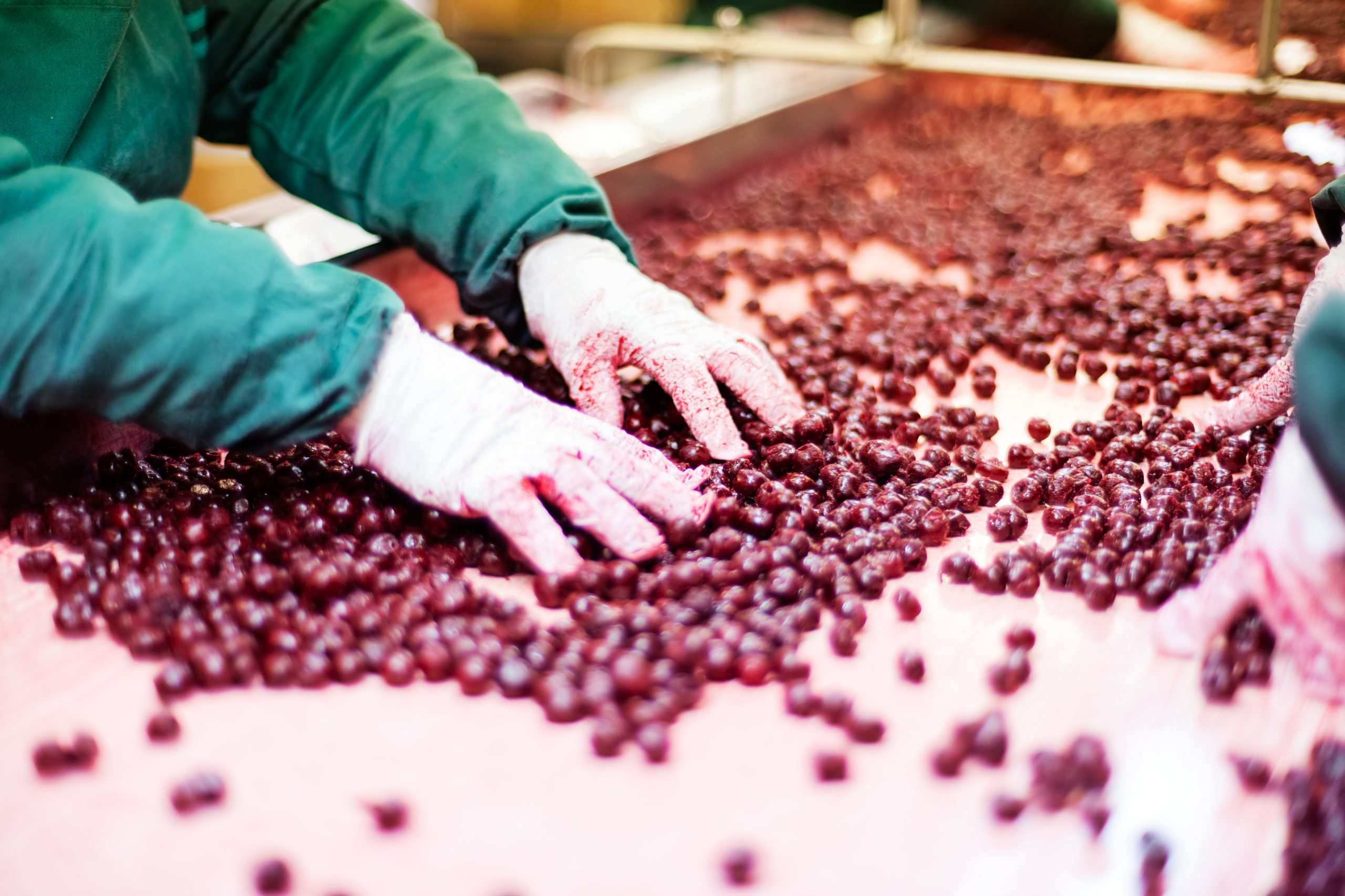 frozen sour cherries in sorting and processing machines